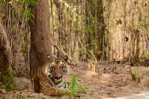 Tiger in pench