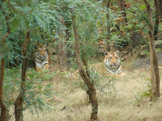 Tiger Tracking Pench National Park